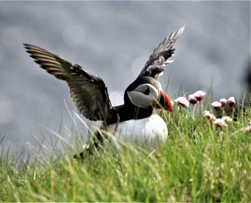 A close up of a puffin flapping its wings, Sumburgh Head. Shetland, Scotland