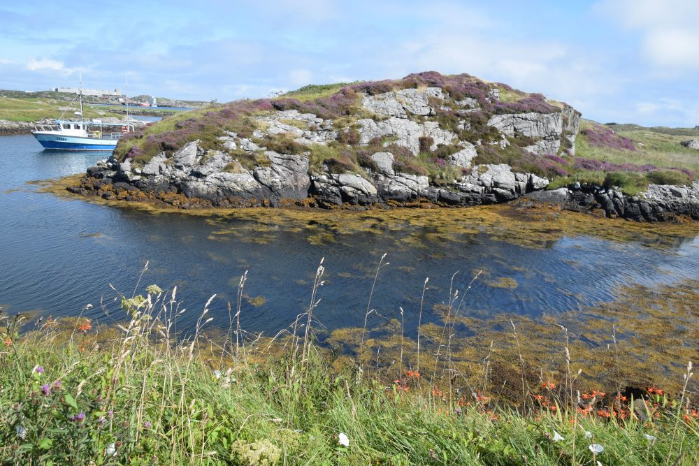 Heather blooming on a rocky islet on Barra